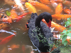 Photo of Black Swan at Byodo-In Temple and Koi poinds